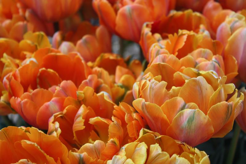 Orange tulips in the Queen Wilhelmina Garden