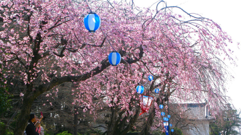 Hanami at Nagoya Castle