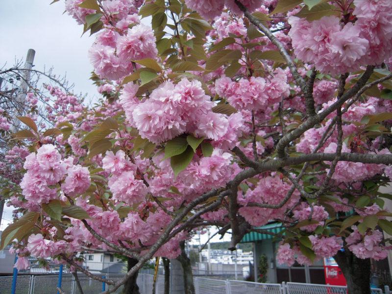 Cherry Blossom in Nara Park