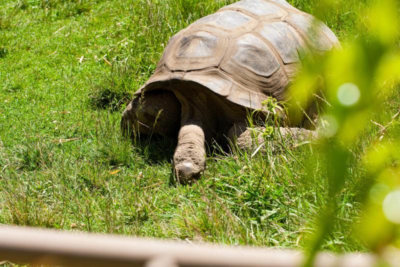 Oakland-Zoo-Tortoise