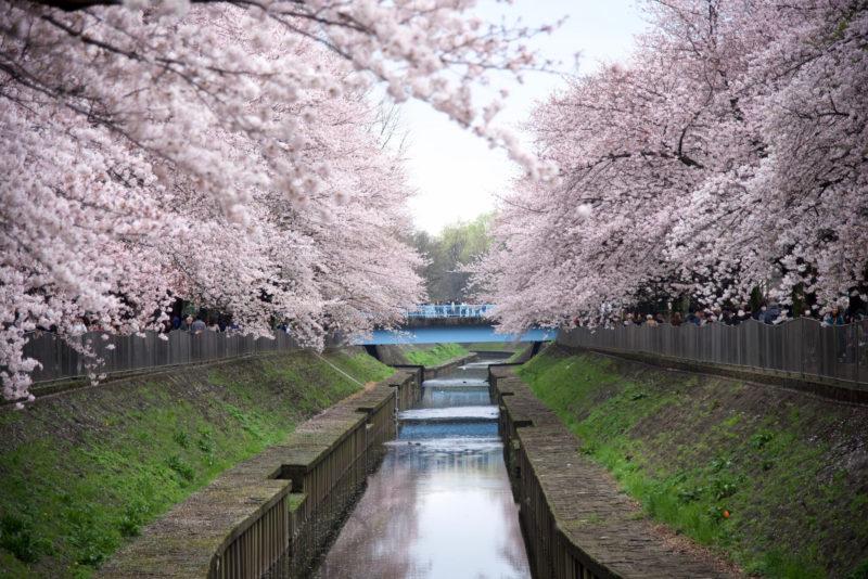 10 Beautiful Japanese Flowers and Their Meanings \u2013 Trip,N,Travel